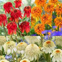 Echinacea Double Flowered Collection