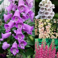 Digitalis Purpurea Collection (Power-Module)