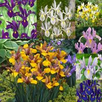 175 Dutch Iris Collection