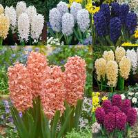30 Bedding Sized Hyacinth Collection 14/15cm