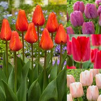 Rare Darwin Tulip Collection