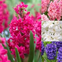 20 Double Hyacinth Collection 15/16cm