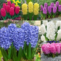 30 Top Size Hyacinth Collection 17-18cm