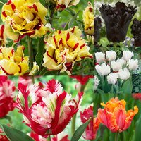 50 Tulip Parrot Collection 11/12cm