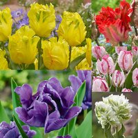 50 New Parrot Tulip Collection 11/12cm
