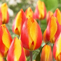 10 Tulip Bright Flair