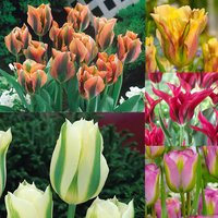 50 Viridiflora Tulips Collection