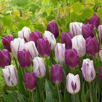 20 Tulip Flaming Flag and Purple Flag Collection