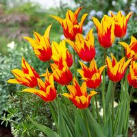10 Tulip Fire Wings 11/12cm