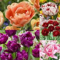Tulip Double Late Collection