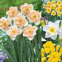 40 Narcissi Rare Orchid Collection