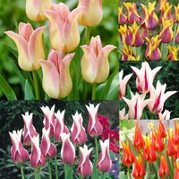 50 Lily Flower Bicolour Tulip Collection 11/12cm