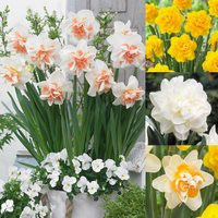 40 Rare Double Daffodil Collection 12/14cm