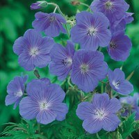 Geranium Johnsons Blue (Power Modules)
