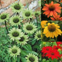 Echinacea Collection