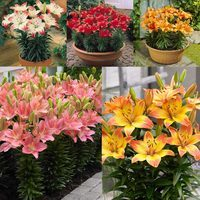 25 Short Stemmed Lilium Collection