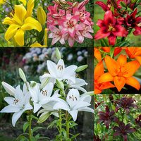 30 Lilium Asiatic Collection