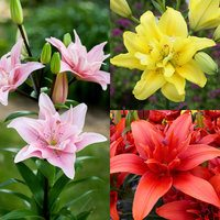15 Double Asiatic Lily Collection