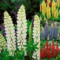 8 Lupins Noble Collection