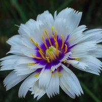 Catananche Alba