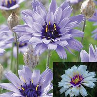 Catananche Collection