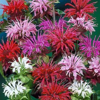 Monarda Mixed (7cm Modules)