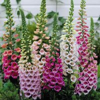 Digitalis Hardy Mixed (7cm Modules)
