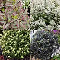 Pittosporum Collection