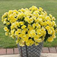 5 Begonia Sunpleasure Yellow