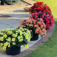 5 Begonia Sunpleasure Collection