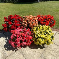 5 Begonia Sunpleasure Mix