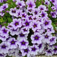 6 Calibrachoa Blueberry Punch