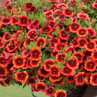 6 Calibrachoa Orange Punch