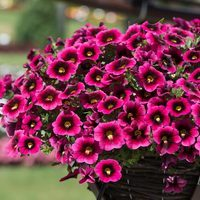 6 Calibrachoa Strawberry Punch