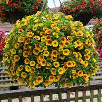 6 Calibrachoa Sunrise Improved