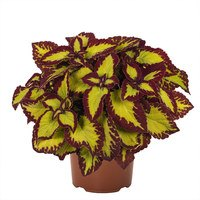 6 Coleus Stained Glassworks Velvet