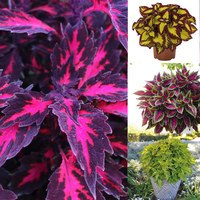 12 New Coleus Collection