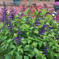 Salvia Purple and Bloom