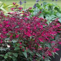 Salvia Salmia Dark Purple