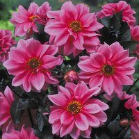 3 Dahlia Mignon Fascination