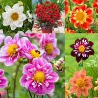 6 Dahlia Collarette Collection