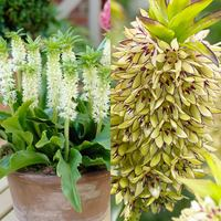 6 Eucomis Collection