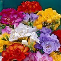 25 Freesia Double Mixed 4/5cm