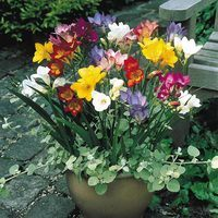 25 Freesia Single Mixed 4/5cm