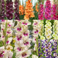 60 Gladioli Rare Novelty Collection