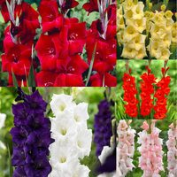 60 Gladiolus Large Flower Collection 3