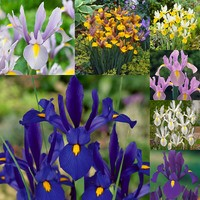 175 Iris Dutch Collection