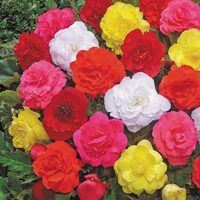 18 Begonia Non Stop Bedding Collection