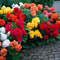 15 Begonia Non Stop Exhibition Size Collection
