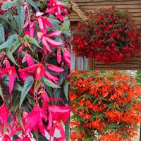 Begonia Firewings Tricolour Collection